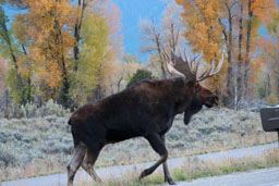 Moose 11